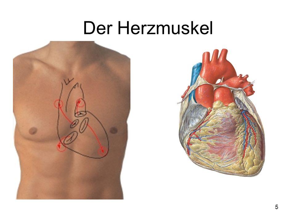Der Herzmuskel