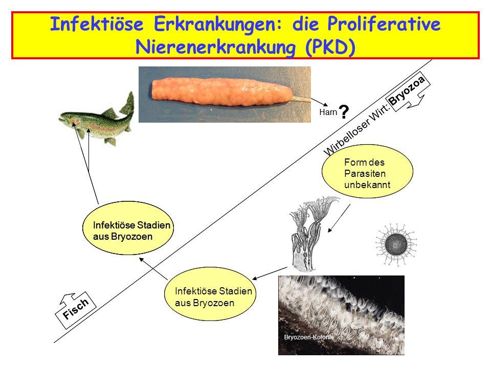Infektiöse Erkrankungen: die Proliferative Nierenerkrankung (PKD)