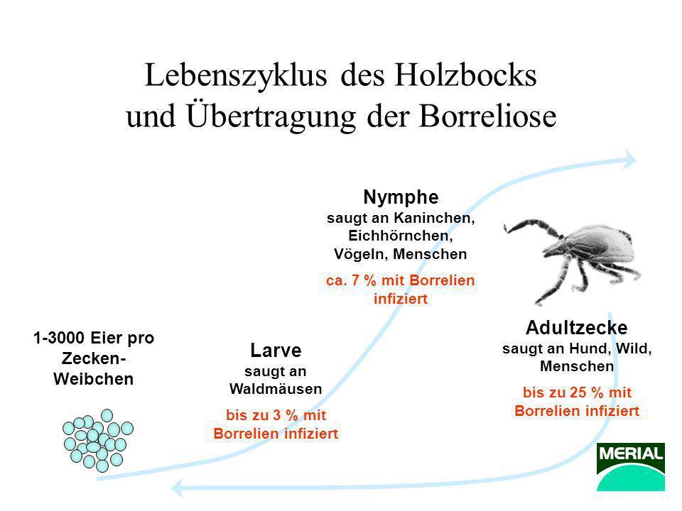 Lebenszyklus des Holzbocks und Übertragung der Borreliose