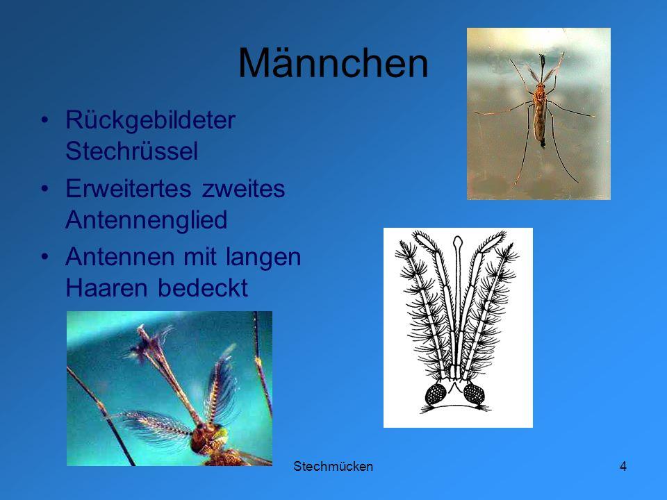 Männchen Rückgebildeter Stechrüssel Erweitertes zweites Antennenglied