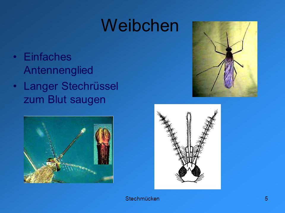 Weibchen Einfaches Antennenglied Langer Stechrüssel zum Blut saugen