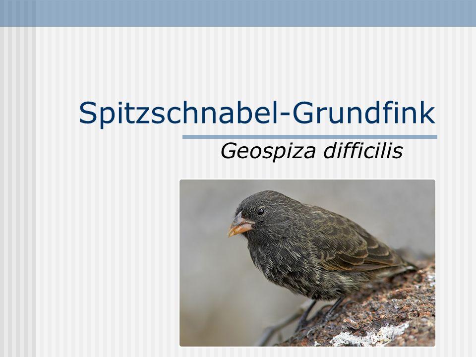 Spitzschnabel-Grundfink