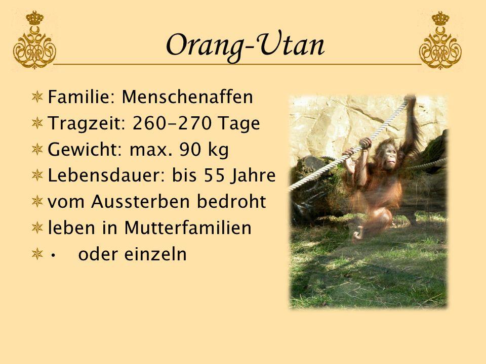 Orang-Utan Familie: Menschenaffen Tragzeit: 260-270 Tage