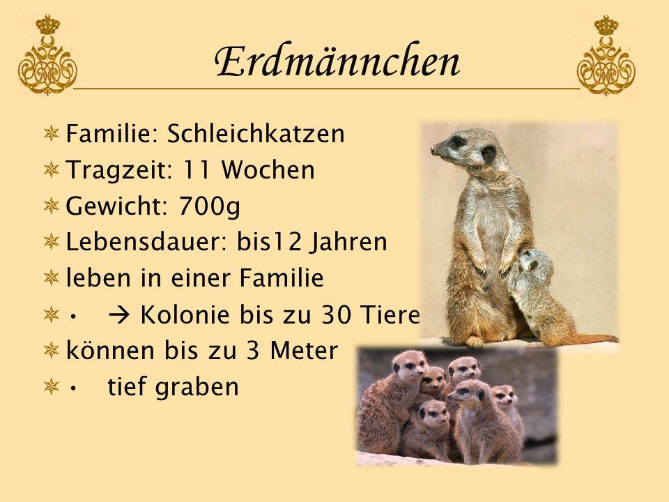 Erdmännchen Familie: Schleichkatzen Tragzeit: 11 Wochen Gewicht: 700g