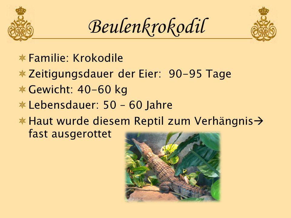 Beulenkrokodil Familie: Krokodile Zeitigungsdauer der Eier: 90-95 Tage