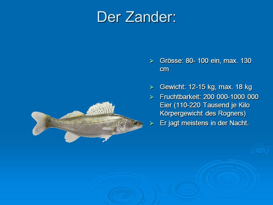 Der Zander: Grösse: 80- 100 ein, max. 130 cm