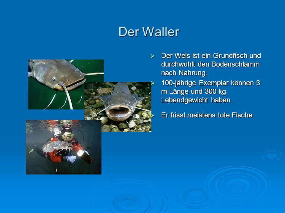 Der Waller Der Wels ist ein Grundfisch und durchwühlt den Bodenschlamm nach Nahrung.