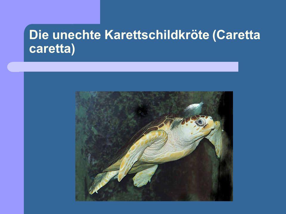 Die unechte Karettschildkröte (Caretta caretta)
