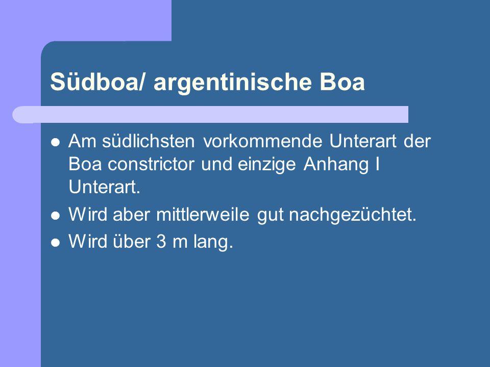 Südboa/ argentinische Boa