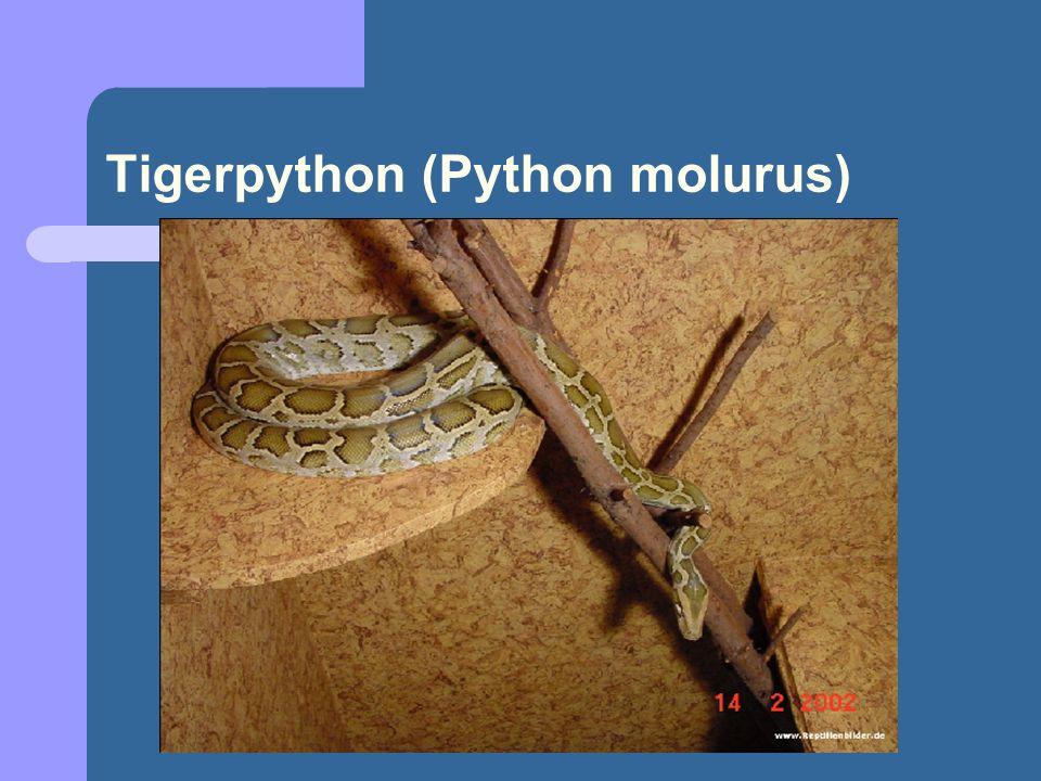 Tigerpython (Python molurus)