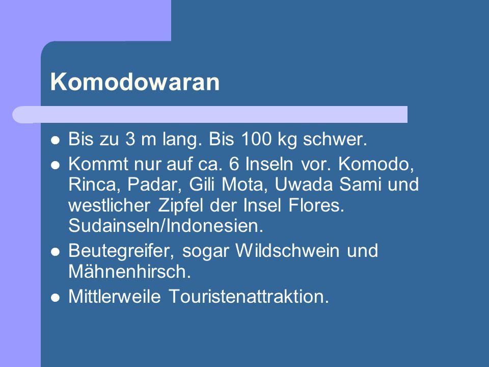 Komodowaran Bis zu 3 m lang. Bis 100 kg schwer.