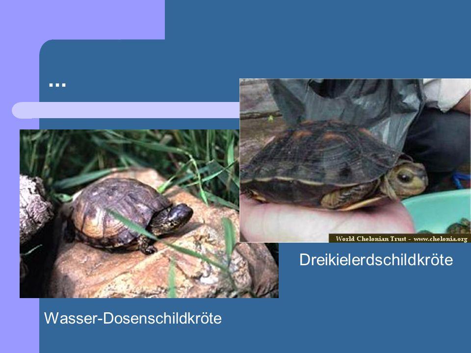 ... Dreikielerdschildkröte Wasser-Dosenschildkröte