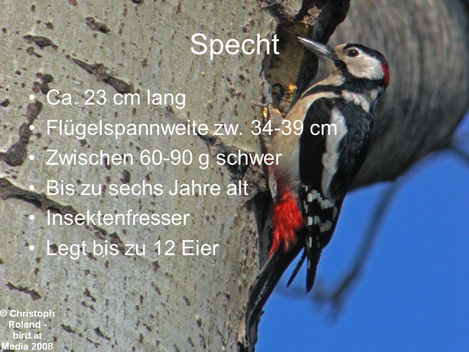 Specht Ca. 23 cm lang Flügelspannweite zw. 34-39 cm