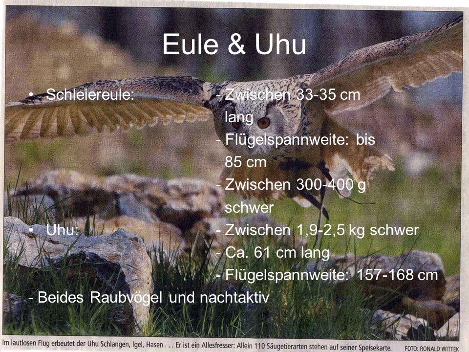 Eule & Uhu Schleiereule: - Zwischen 33-35 cm lang