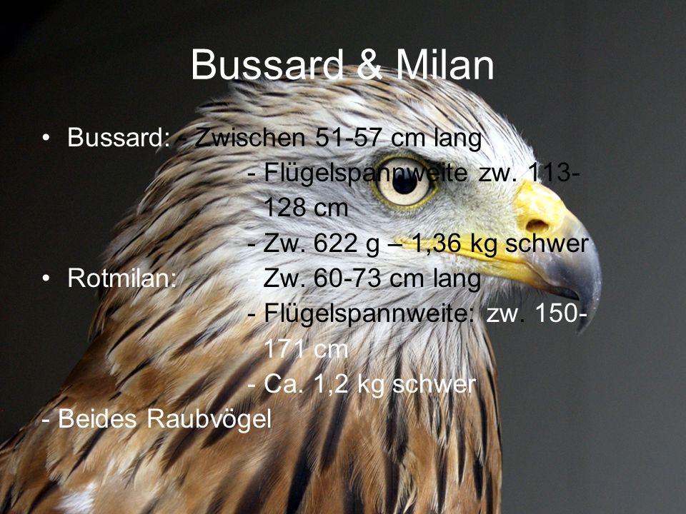 Bussard & Milan Bussard: - Zwischen 51-57 cm lang