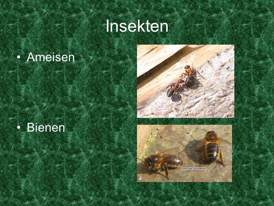 Insekten Ameisen Bienen