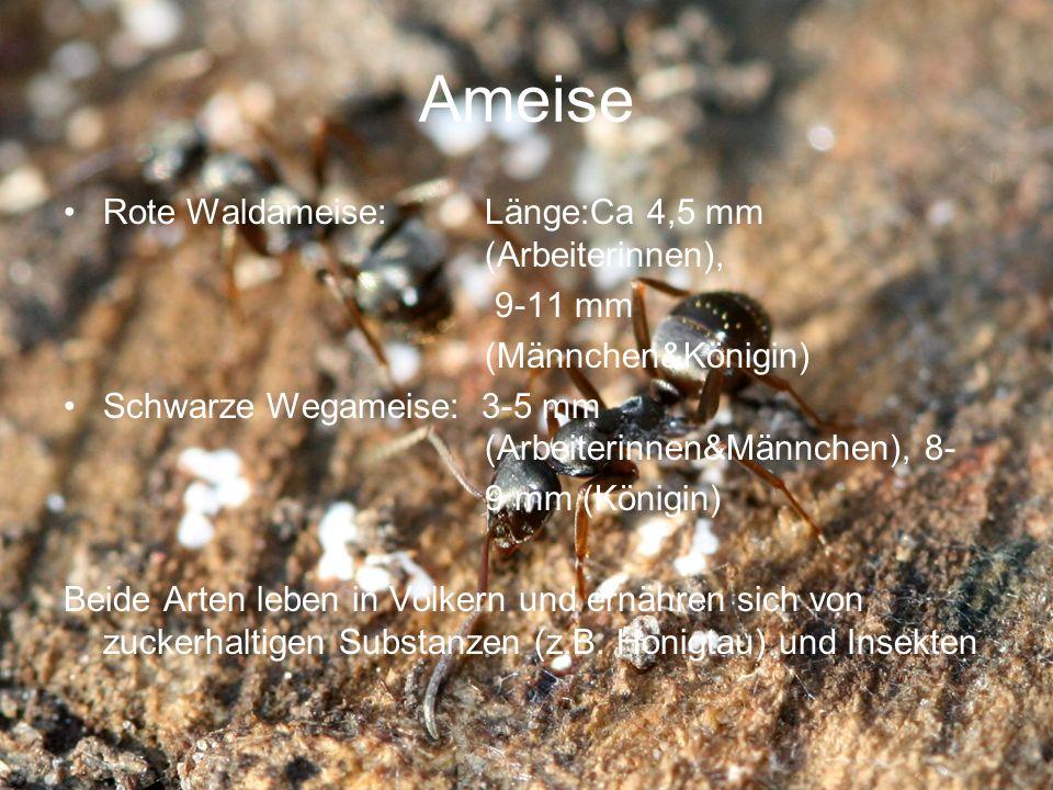 Ameise Rote Waldameise: Länge:Ca 4,5 mm (Arbeiterinnen), 9-11 mm