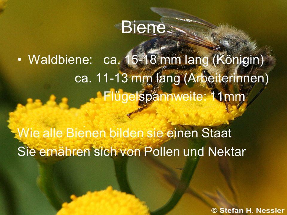 Biene Waldbiene: ca. 15-18 mm lang (Königin)