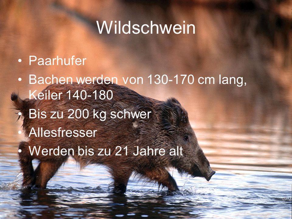 Wildschwein Paarhufer
