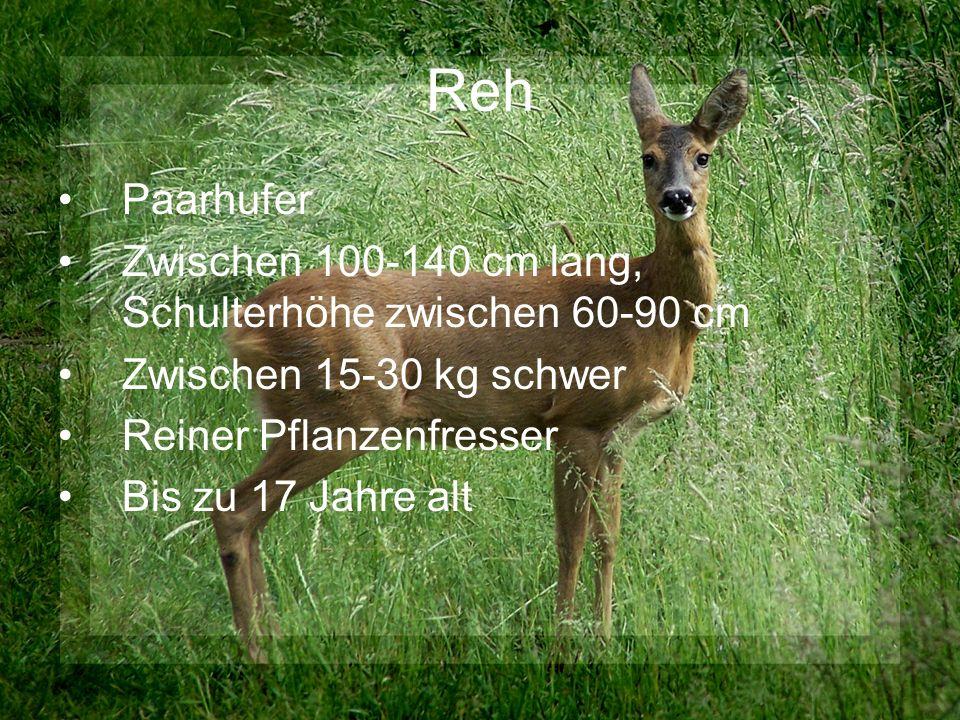 Reh Paarhufer Zwischen 100-140 cm lang, Schulterhöhe zwischen 60-90 cm