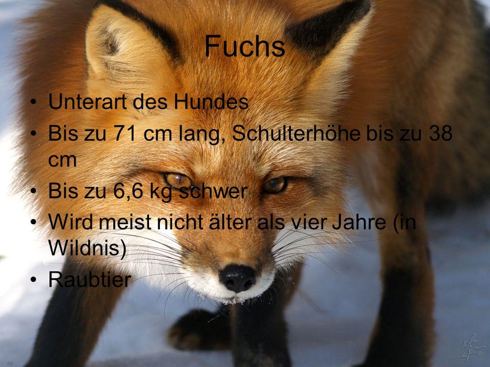 Fuchs Unterart des Hundes Bis zu 71 cm lang, Schulterhöhe bis zu 38 cm