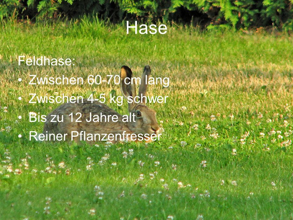 Hase Feldhase: Zwischen 60-70 cm lang Zwischen 4-5 kg schwer