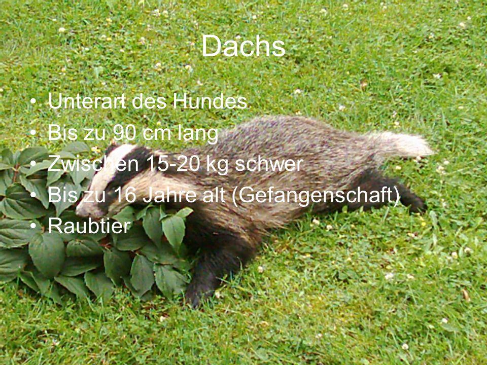 Dachs Unterart des Hundes Bis zu 90 cm lang Zwischen 15-20 kg schwer