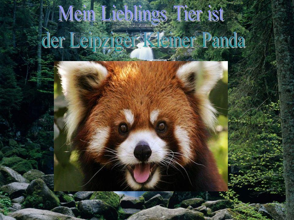Mein Lieblings Tier ist der Leipziger Kleiner Panda