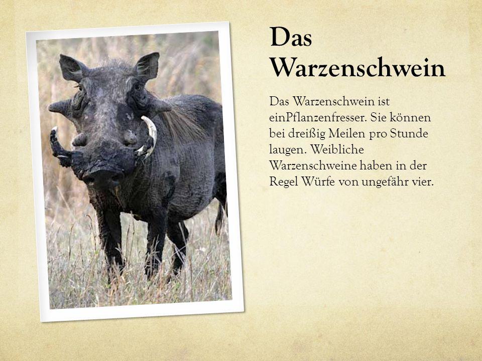 Das Warzenschwein