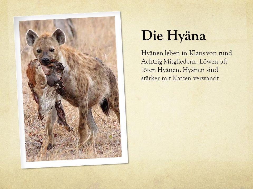 Die Hyäna Hyänen leben in Klans von rund Achtzig Mitgliedern.