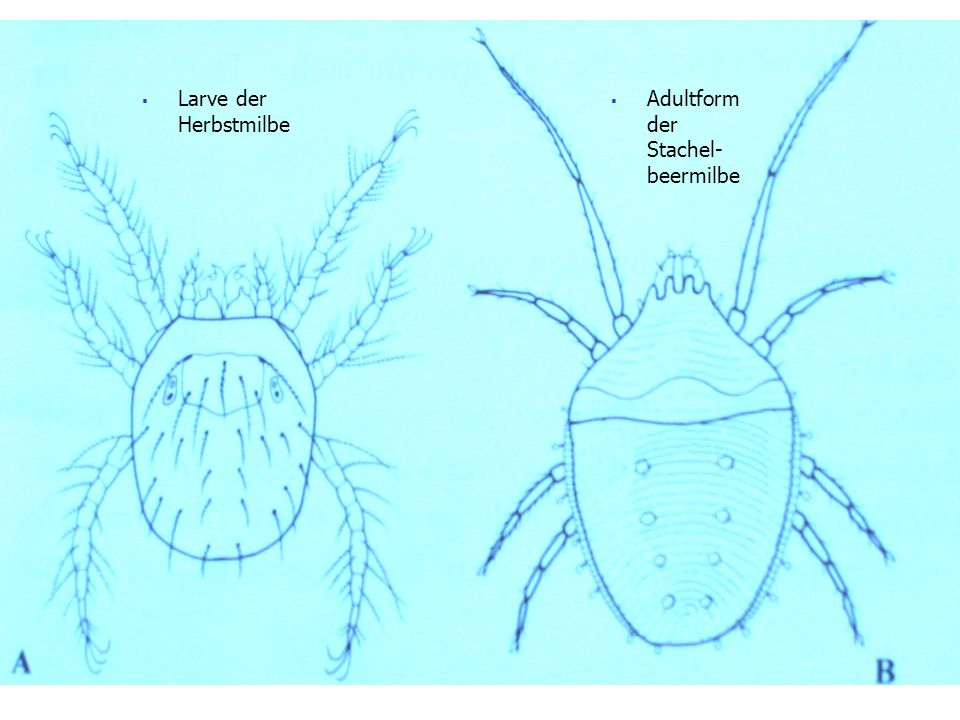 Larve der Herbstmilbe Adultform der Stachel-beermilbe