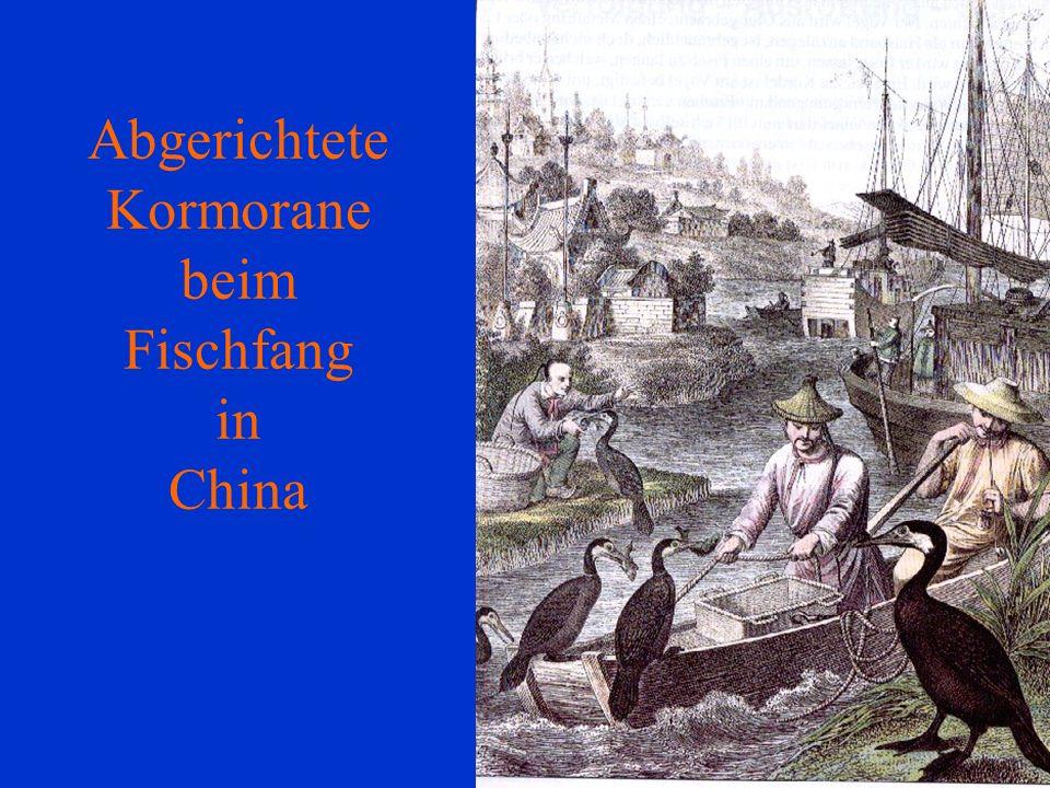 Abgerichtete Kormorane beim Fischfang in China