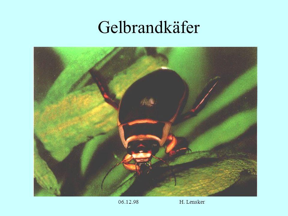 Gelbrandkäfer 06.12.98 H. Lensker