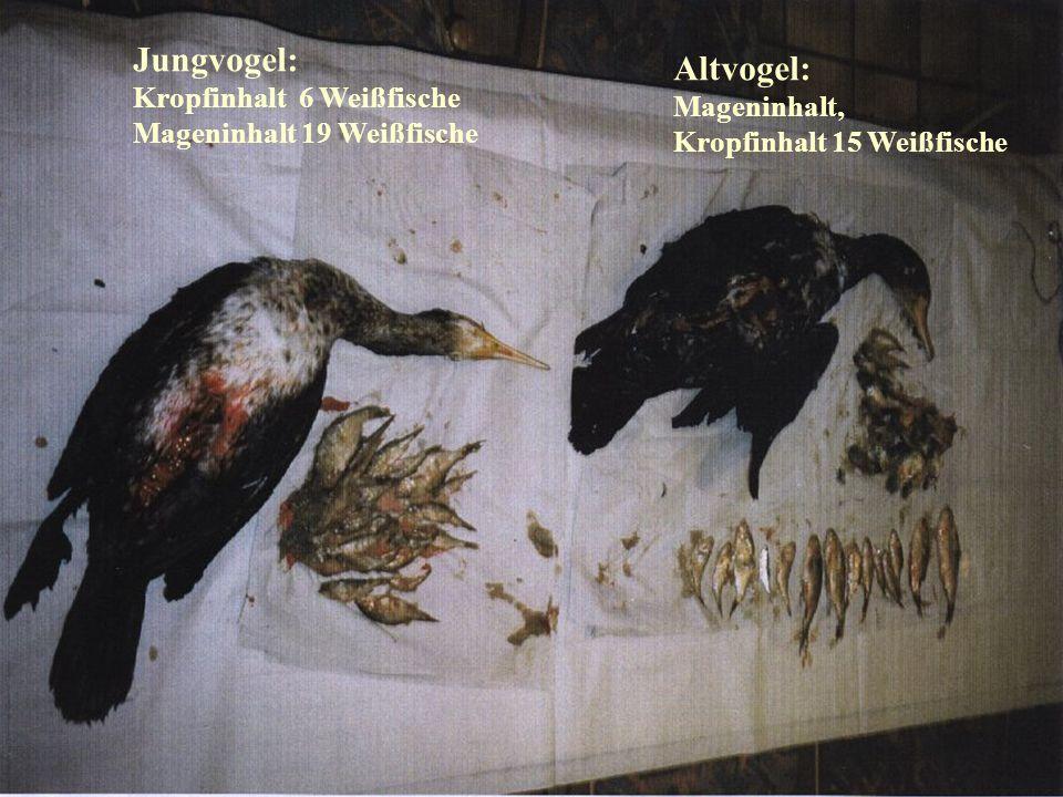 Jungvogel: Altvogel: Kropfinhalt 6 Weißfische Mageninhalt,
