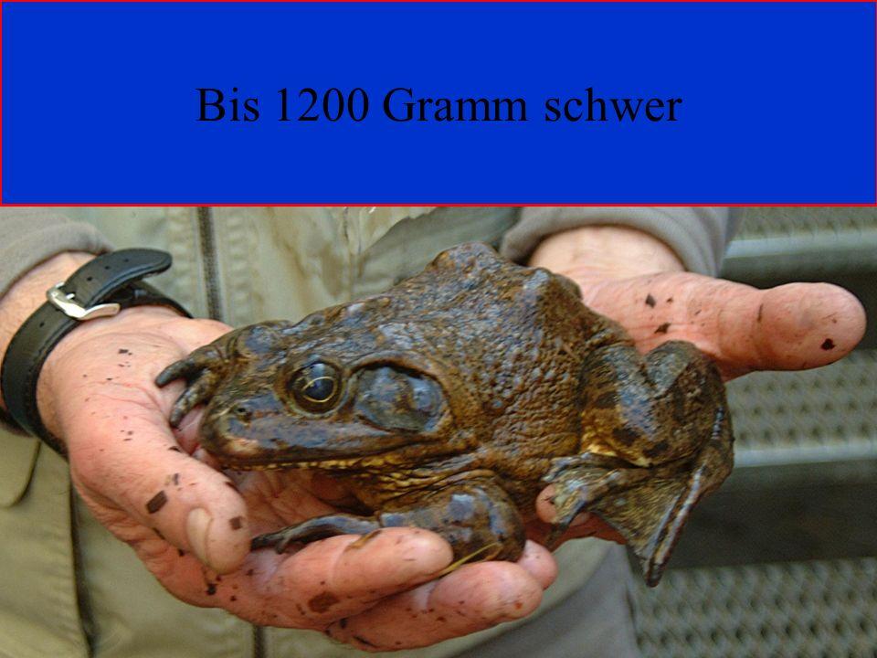 Bis 1200 Gramm schwer 06.12.98 H. Lensker