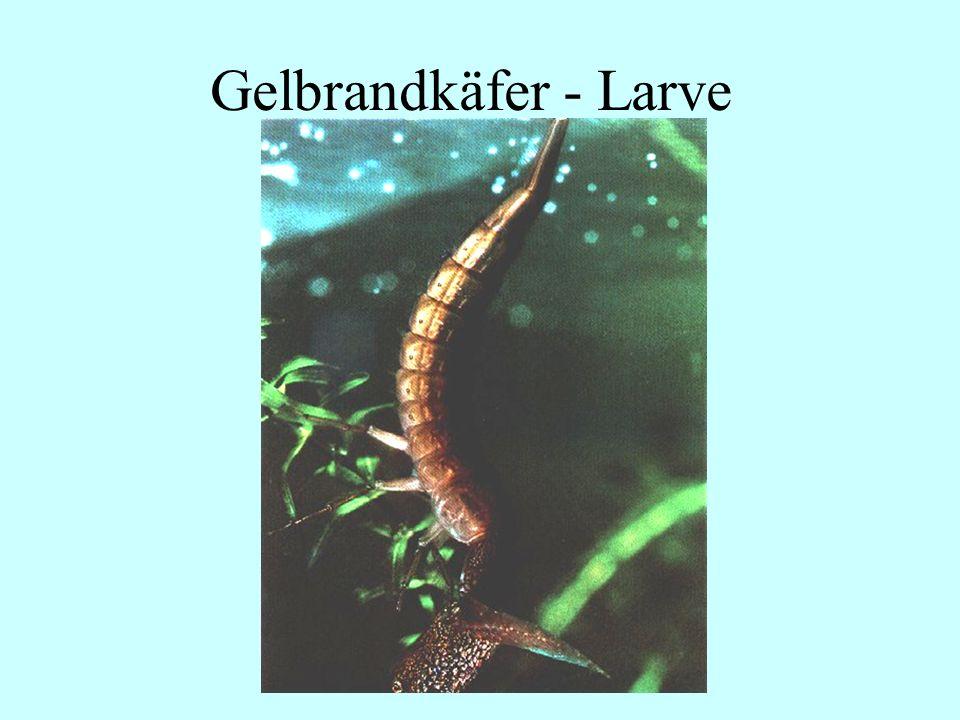 Gelbrandkäfer - Larve 06.12.98 H. Lensker