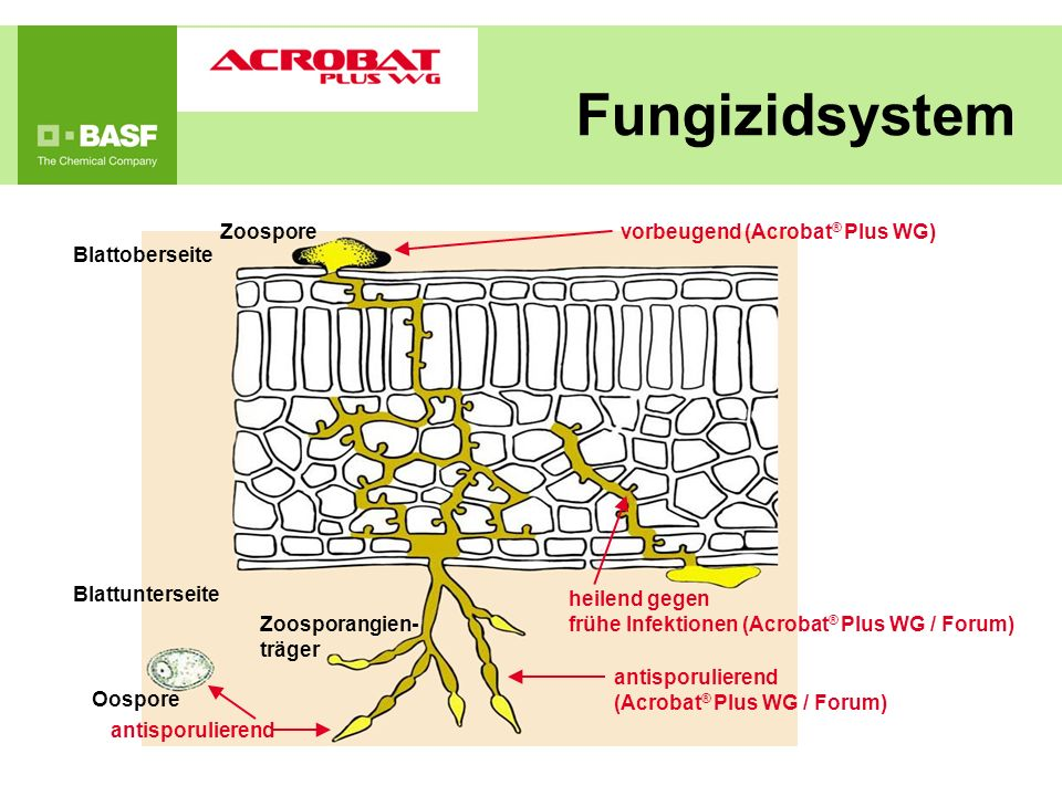 Fungizidsystem Blattoberseite Zoospore Blattunterseite Oospore