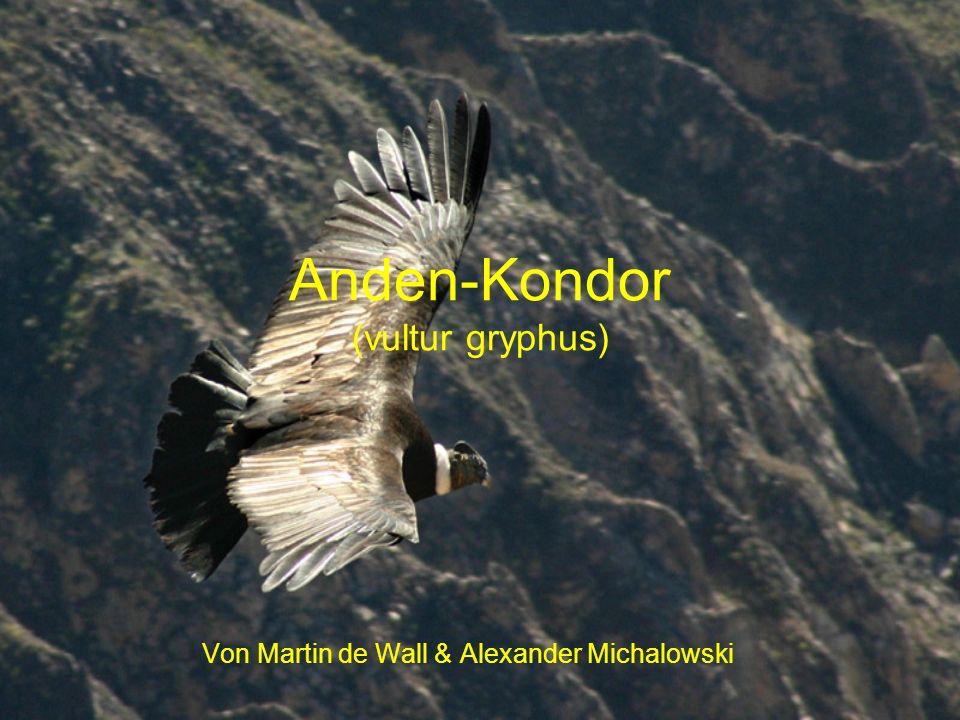Anden-Kondor (vultur gryphus)