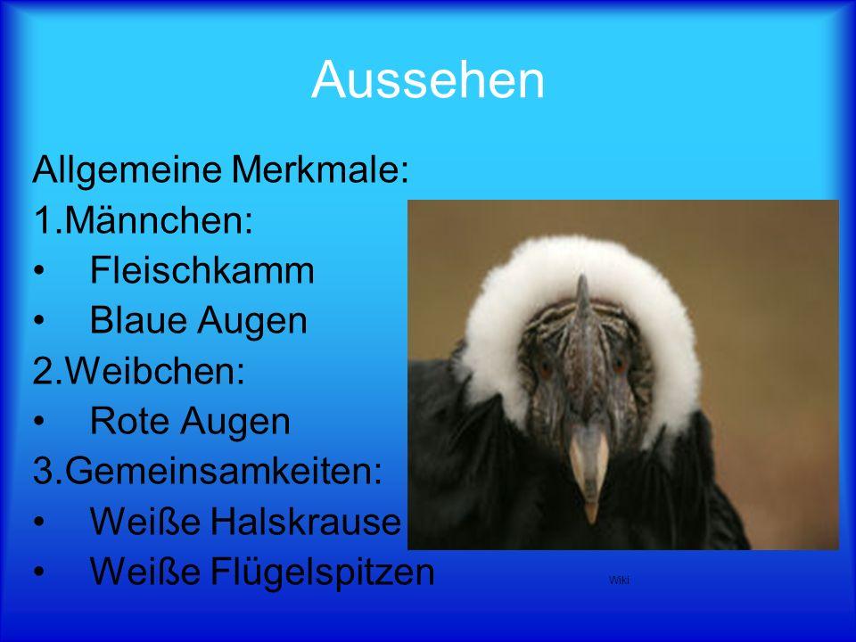 Aussehen Allgemeine Merkmale: 1.Männchen: Fleischkamm Blaue Augen