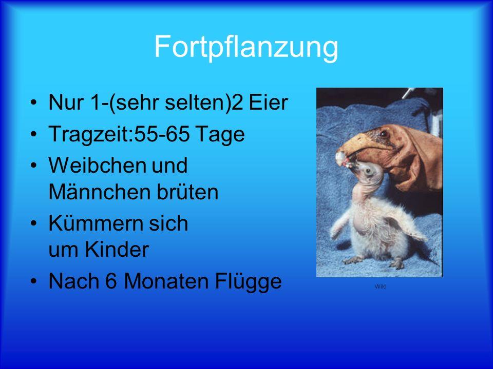 Fortpflanzung Nur 1-(sehr selten)2 Eier Tragzeit:55-65 Tage