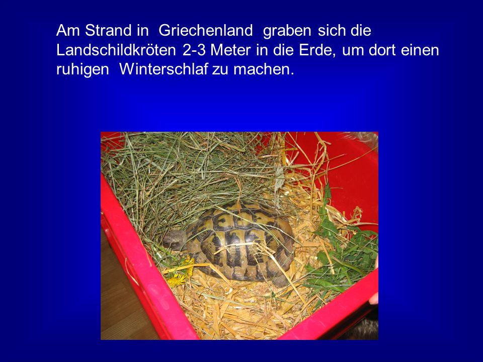 Am Strand in Griechenland graben sich die Landschildkröten 2-3 Meter in die Erde, um dort einen ruhigen Winterschlaf zu machen.