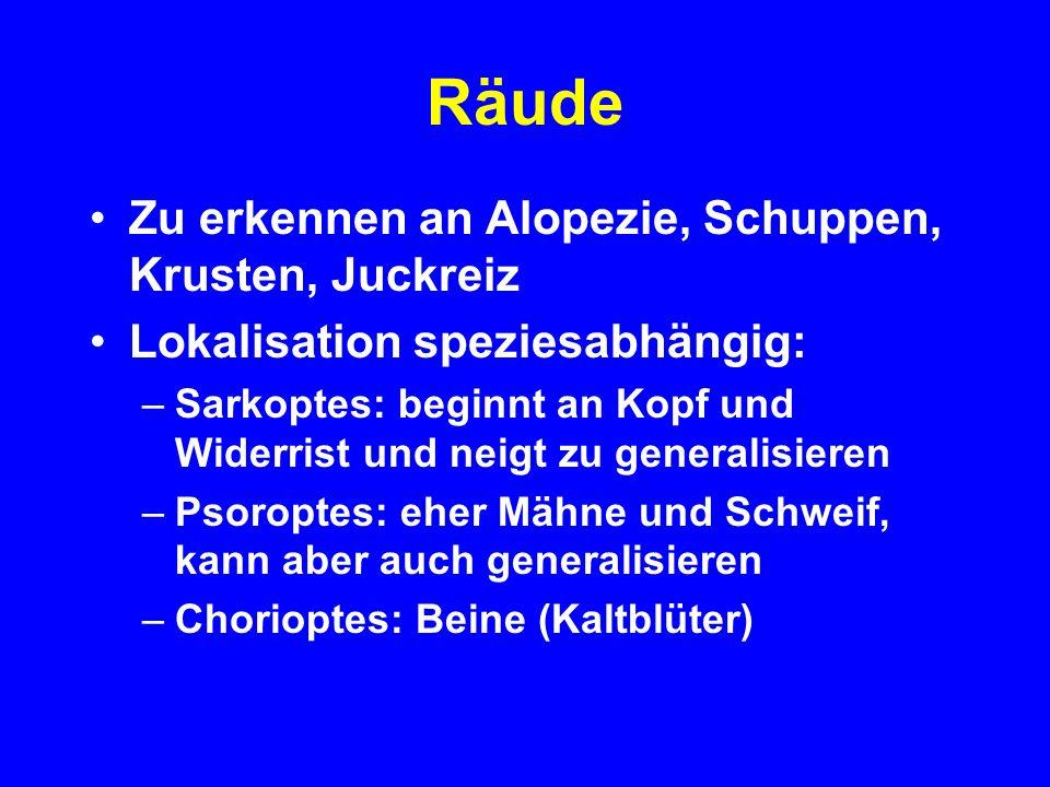 Räude Zu erkennen an Alopezie, Schuppen, Krusten, Juckreiz
