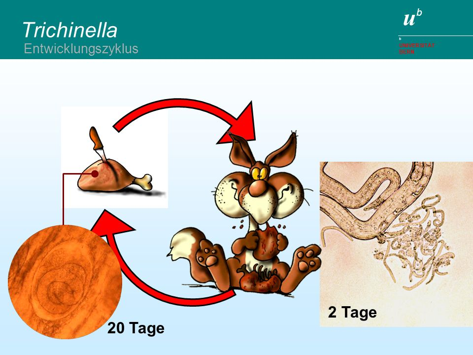 Trichinella Entwicklungszyklus 2 Tage 20 Tage