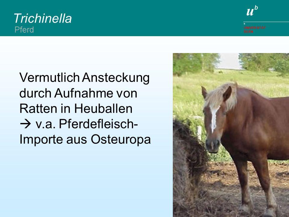 Trichinella Pferd. Vermutlich Ansteckung durch Aufnahme von Ratten in Heuballen  v.a.