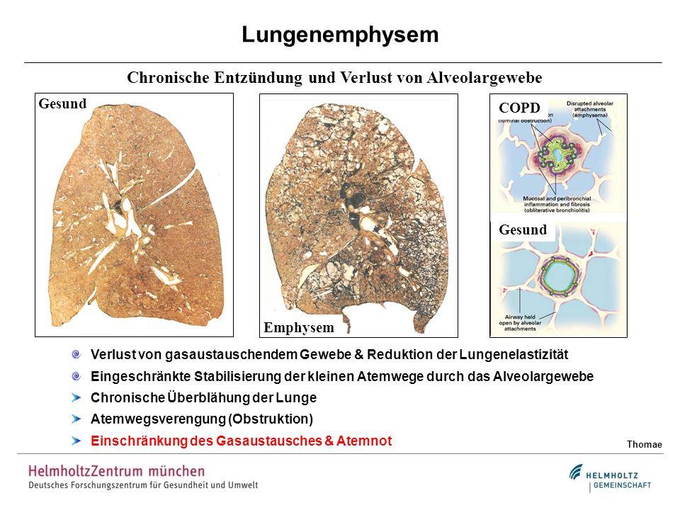 Chronische Entzündung und Verlust von Alveolargewebe