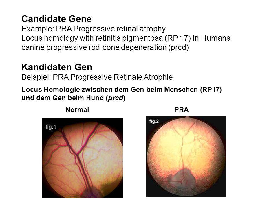 Candidate Gene Kandidaten Gen Example: PRA Progressive retinal atrophy