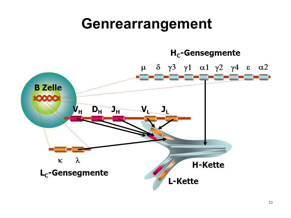 Genrearrangement H-Kette L-Kette B Zelle VH DH JH VL JL k l m d g3 g1