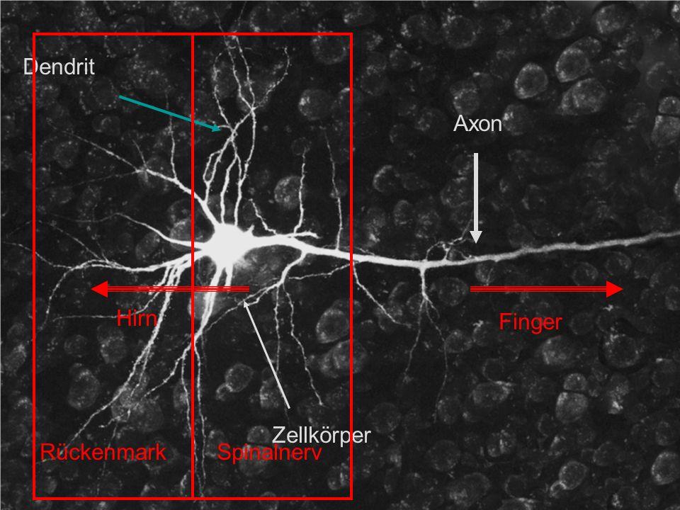 Dendrit Axon Hirn Finger Zellkörper Rückenmark Spinalnerv