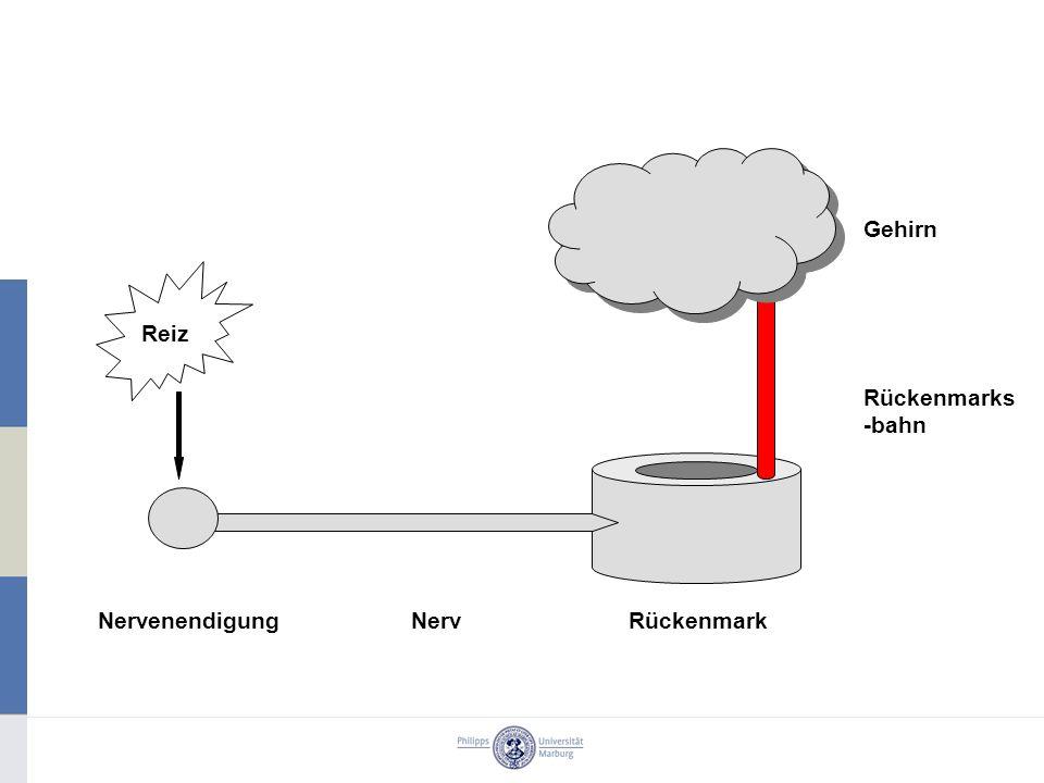 Gehirn Reiz Rückenmarks-bahn Nervenendigung Nerv Rückenmark