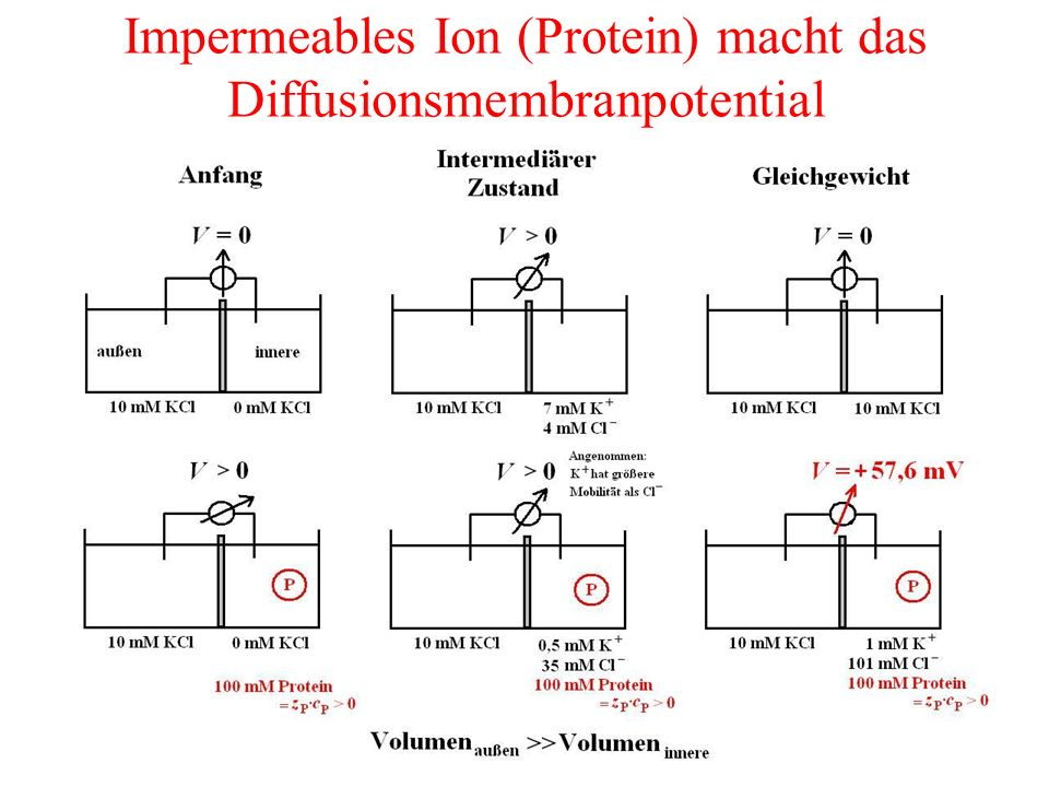 Impermeables Ion (Protein) macht das Diffusionsmembranpotential
